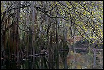 Bald cypress, spanish moss, and branches with fall colors over Cedar Creek. Congaree National Park, South Carolina, USA.