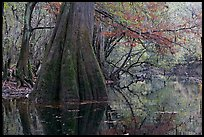 Large buttressed base of bald cypress and fall colors reflections in Cedar Creek. Congaree National Park, South Carolina, USA.