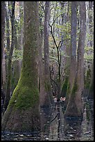 Young tree growing in swamp amongst old growth cypress and tupelo. Congaree National Park, South Carolina, USA. (color)