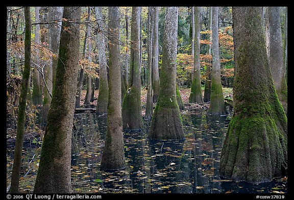 Swamp with bald cypress and tupelo trees. Congaree National Park (color)