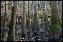 Swamp with bald cypress and tupelo trees. Congaree National Park, South Carolina, USA. (color)