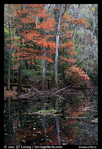 Bald cypress in fall colors and dark waters. Congaree National Park (color)