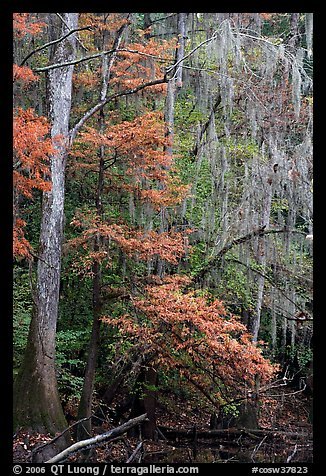 Spanish moss and cypress needs in fall colors. Congaree National Park (color)