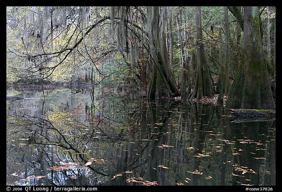 Arched branches with spanish moss above Cedar Creek. Congaree National Park (color)
