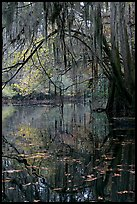 Branches with spanish moss reflected in Cedar Creek. Congaree National Park, South Carolina, USA.