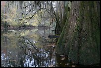 Buttressed cypress base and spanish moss reflected in Cedar Creek. Congaree National Park, South Carolina, USA.