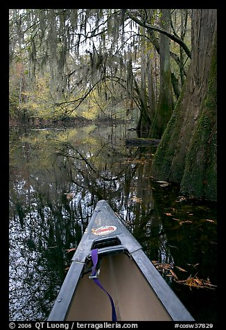 Canoe prow and swamp trees growing at the base of Cedar Creek. Congaree National Park, South Carolina, USA.