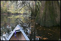 Canoe prow on Cedar Creek amongst large cypress trees, fall colors, and spanish moss. Congaree National Park, South Carolina, USA.