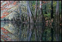 Cypress trees with branch in fall color reflected in dark waters of Cedar Creek. Congaree National Park, South Carolina, USA. (color)
