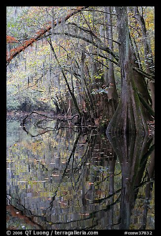Arched branches and cypress reflected in Cedar Creek. Congaree National Park (color)