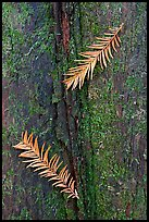 Close-up of fallen cypress needles on trunk. Congaree National Park, South Carolina, USA. (color)