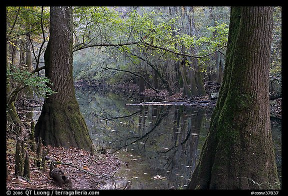 Trees and cypress knees on the shore of Cedar Creek. Congaree National Park, South Carolina, USA.