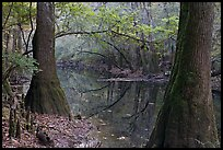 Trees and cypress knees on the shore of Cedar Creek. Congaree National Park ( color)
