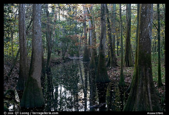 Creek in fall, early morning. Congaree National Park (color)