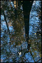 Bald cypress tree reflected in creek. Congaree National Park, South Carolina, USA. (color)