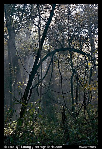 Trees with vines. Congaree National Park (color)