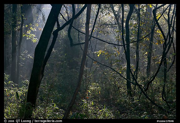 Vines and sunlit mist. Congaree National Park (color)