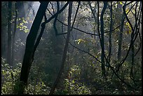Vines and sunlit mist. Congaree National Park, South Carolina, USA.