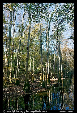 Tall trees and creek. Congaree National Park, South Carolina, USA.