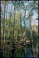 Tall trees and creek. Congaree National Park, South Carolina, USA. (color)
