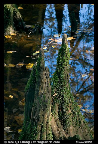 Cypress knees and creek. Congaree National Park (color)