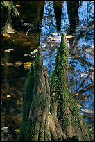 Cypress knees and creek. Congaree National Park, South Carolina, USA.