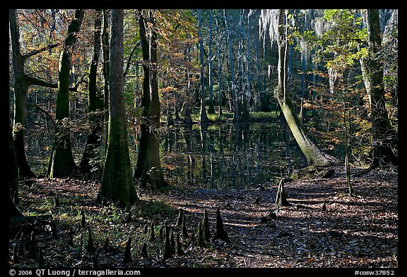 Cypress, knees, and Wise Lake. Congaree National Park (color)