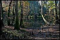 Cypress, knees, and Wise Lake. Congaree National Park, South Carolina, USA. (color)