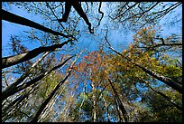 Floodplain forest canopy in fall color. Congaree National Park, South Carolina, USA.