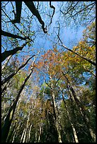 Looking upwards Floodplain forest. Congaree National Park, South Carolina, USA.
