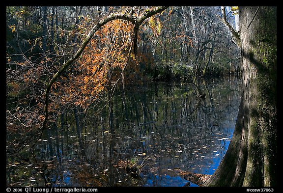 Bald cypress branch overhanging dark waters of Wise Lake. Congaree National Park, South Carolina, USA.