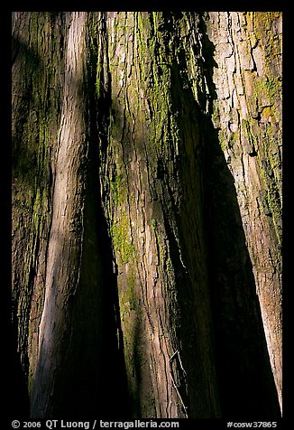 Close-up of base of bald cypress tree. Congaree National Park (color)