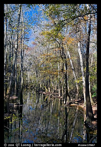 Tall trees around creek. Congaree National Park (color)