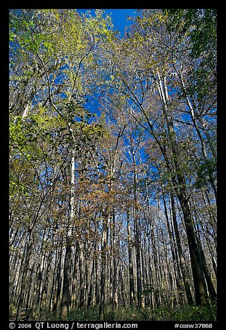 Tall floodplain forest trees. Congaree National Park, South Carolina, USA.