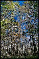 Tall floodplain forest trees. Congaree National Park, South Carolina, USA. (color)