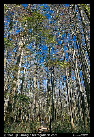 Boardwalk with woman dwarfed by tall trees. Congaree National Park, South Carolina, USA.