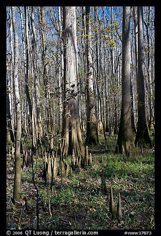 Cypress knees and tall cypress trees on a sunny day. Congaree National Park (color)