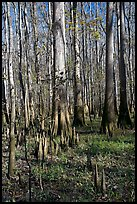 Cypress knees and tall cypress trees on a sunny day. Congaree National Park, South Carolina, USA.
