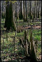 Floor of floodplain forest with cypress knees. Congaree National Park, South Carolina, USA.