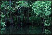 Bald cypress in summer. Congaree National Park, South Carolina, USA. (color)