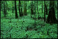 Cypress and undergrowth with knees in summer. Congaree National Park, South Carolina, USA.