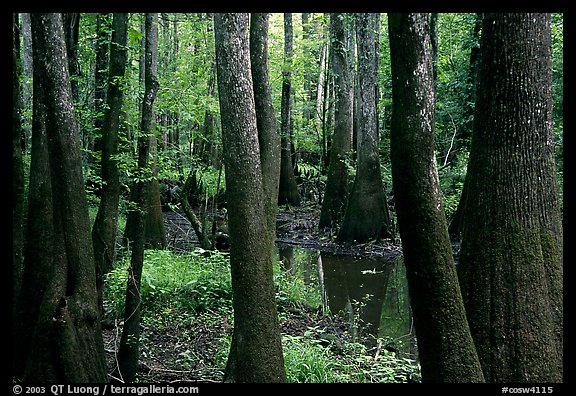 Cypress and swamp in summer. Congaree National Park (color)