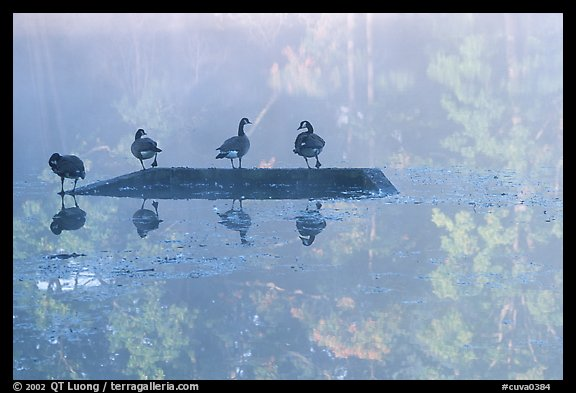 Geese and misty reflections on Kendal lake. Cuyahoga Valley National Park, Ohio, USA.