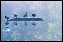 Geese and misty reflections on Kendal lake. Cuyahoga Valley National Park ( color)