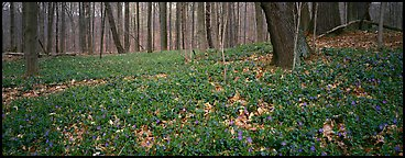 Forest floor with bare trees and early wildflowers. Cuyahoga Valley National Park, Ohio, USA.