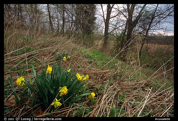 Yellow Daffodils growing at the edge of wetland. Cuyahoga Valley National Park (color)