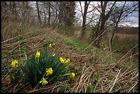 Yellow Daffodils growing at the edge of wetland. Cuyahoga Valley National Park, Ohio, USA. (color)