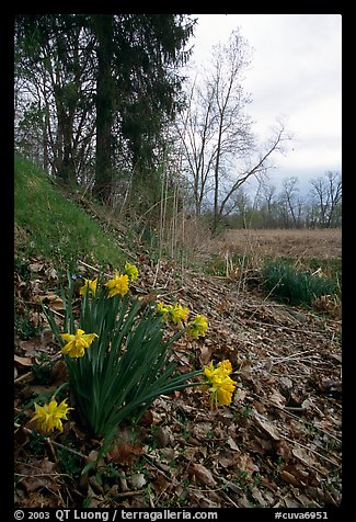Yellow Daffodils growing at the edge of a marsh. Cuyahoga Valley National Park, Ohio, USA.