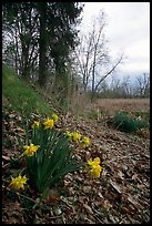 Yellow Daffodils growing at the edge of a marsh. Cuyahoga Valley National Park, Ohio, USA. (color)