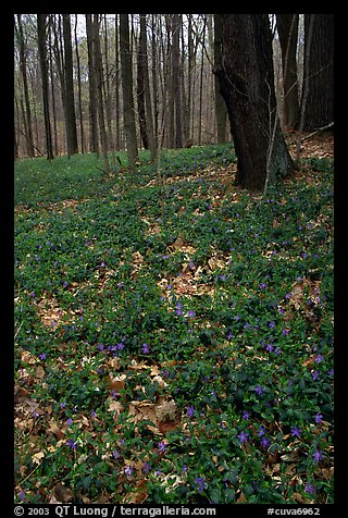 Forest floor with tint myrtle flowers, Brecksville Reservation. Cuyahoga Valley National Park, Ohio, USA.